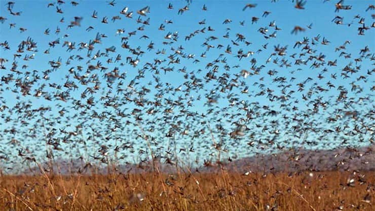 வெட்டுக்கிளிகளைக் கட்டுப்படுத்த வான்வழி பூச்சிக்கொல்லி தெளிப்பு
