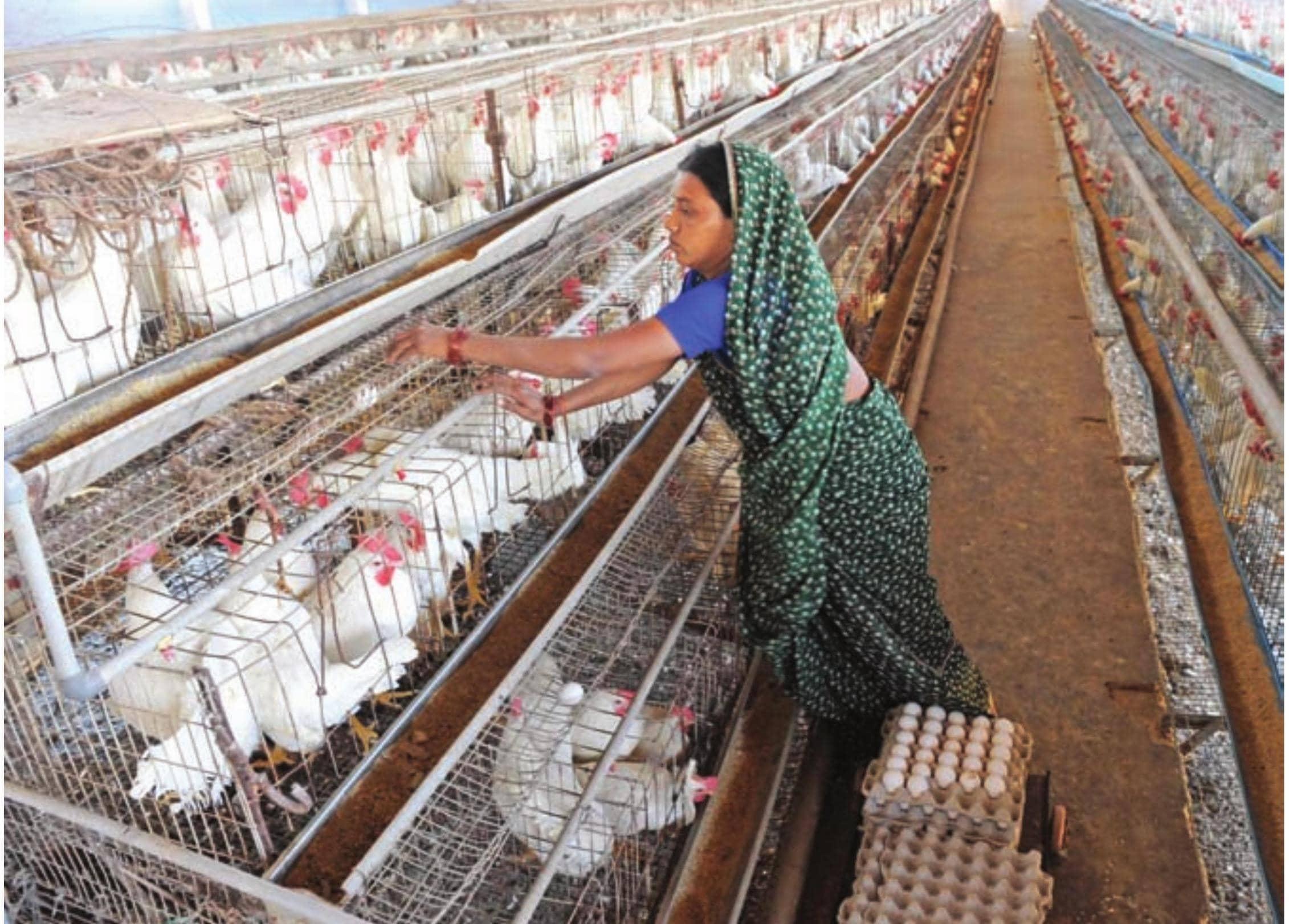 गरमी में अंडा देने वाली मुरगियों का प्रबधन