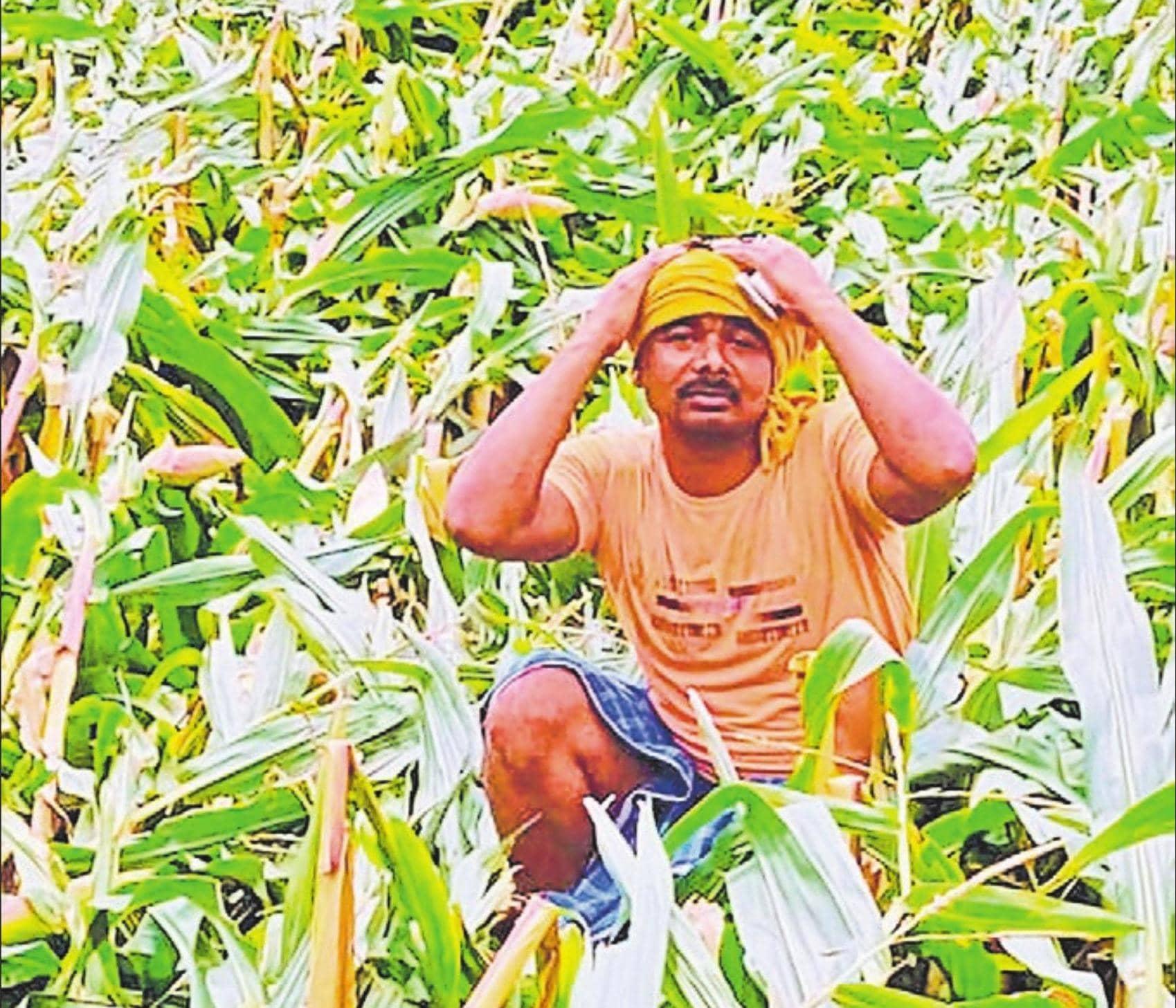 तेज हवा व बारिश से हजारों एकड़ में लगी मक्का की फसल हुई बर्बाद